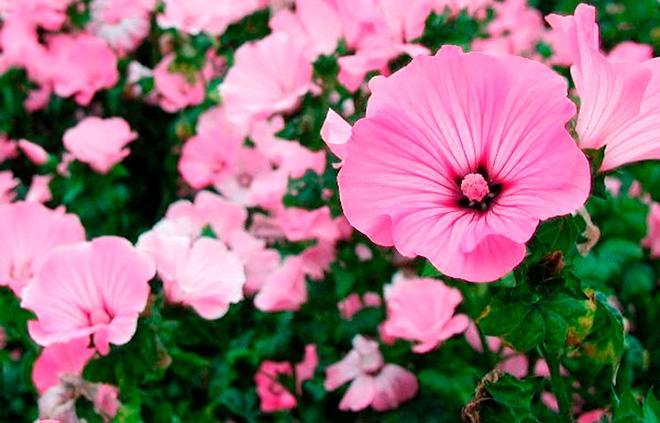Лаватера садовая фото