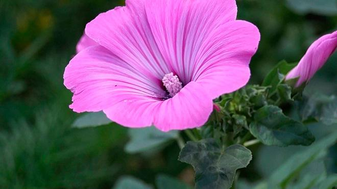 Роза лаватера фото