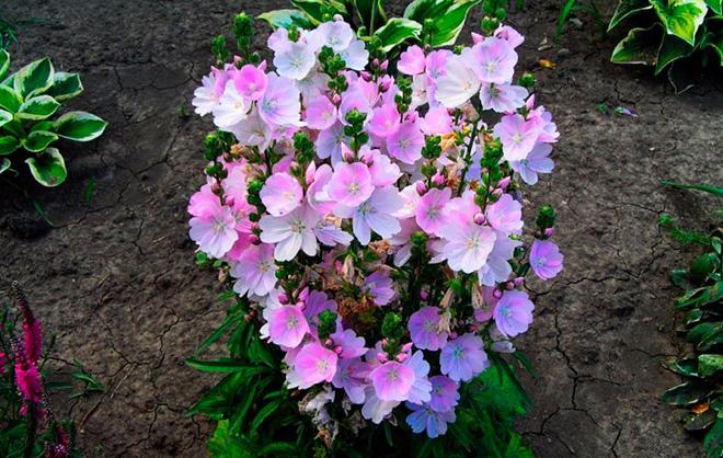 Лаватера в саду фото