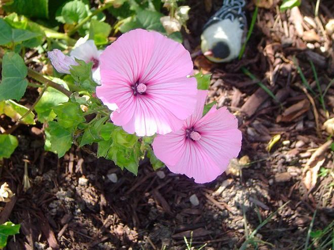 Фото садовой лаватеры