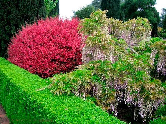 Красное дерево Лептоспермума фото