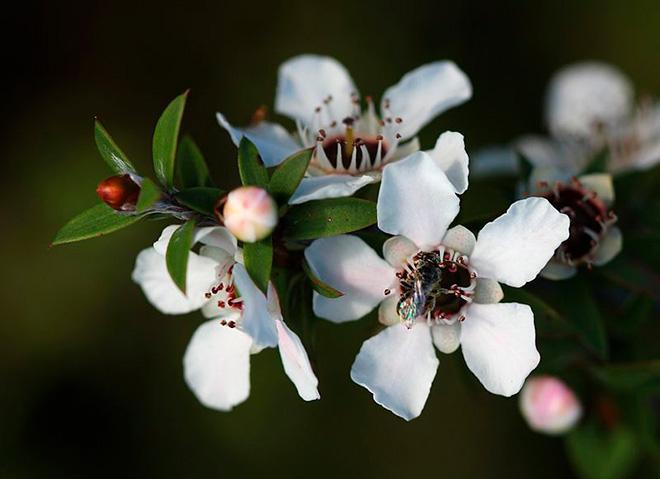 Цветы Манука фото