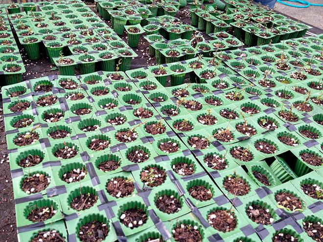 Семена лептоспермума фото