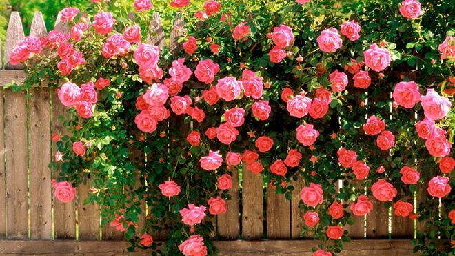 Роза плетистого типа фото