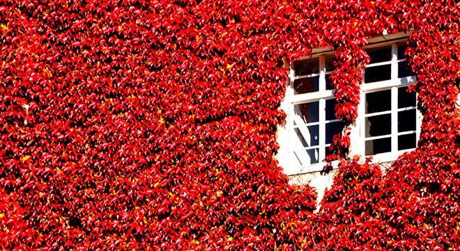 Виноград на стене фото