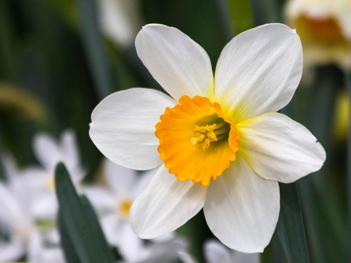 нарциссы весной