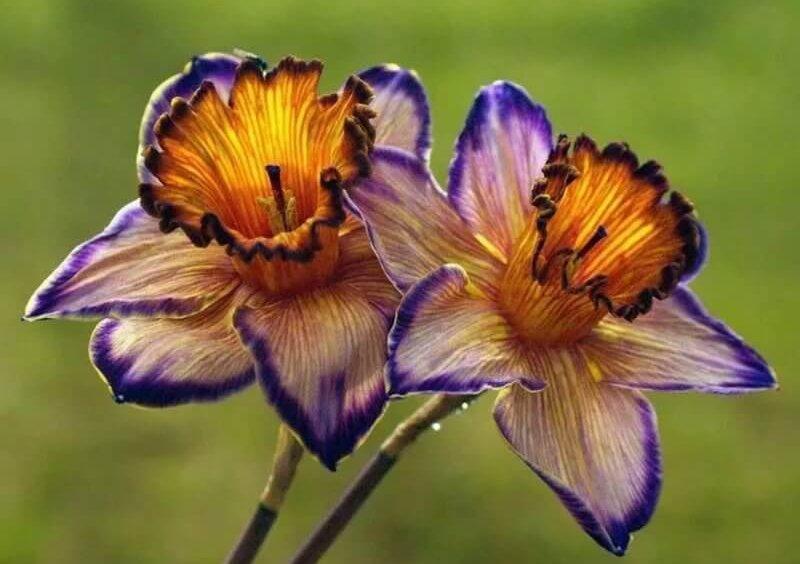 цветущие нарциссы
