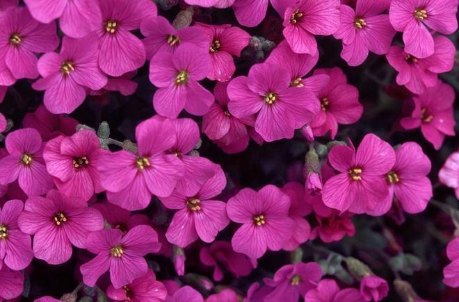 обриета розовая