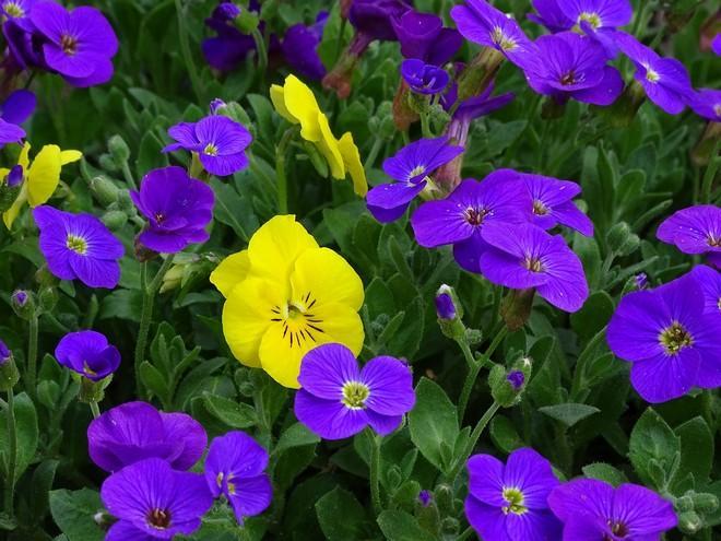 обриета цветение