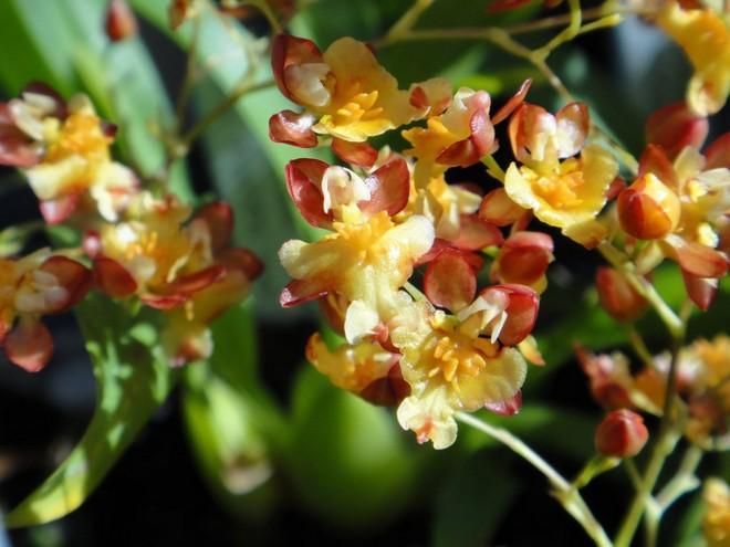 орхидея онцидиум пересадка