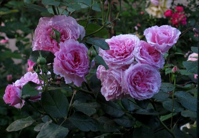 розы остинки