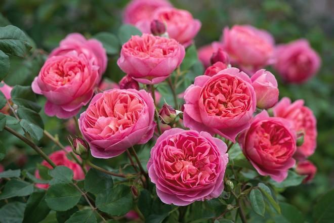 цветы остинки