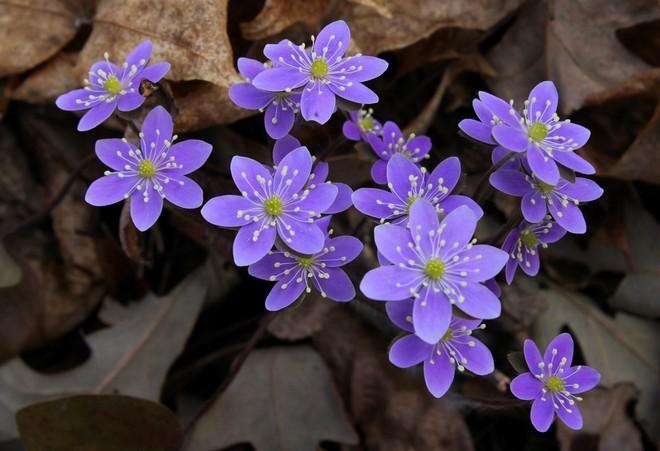 печеночница цветок