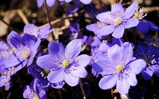 цветки печеночницы