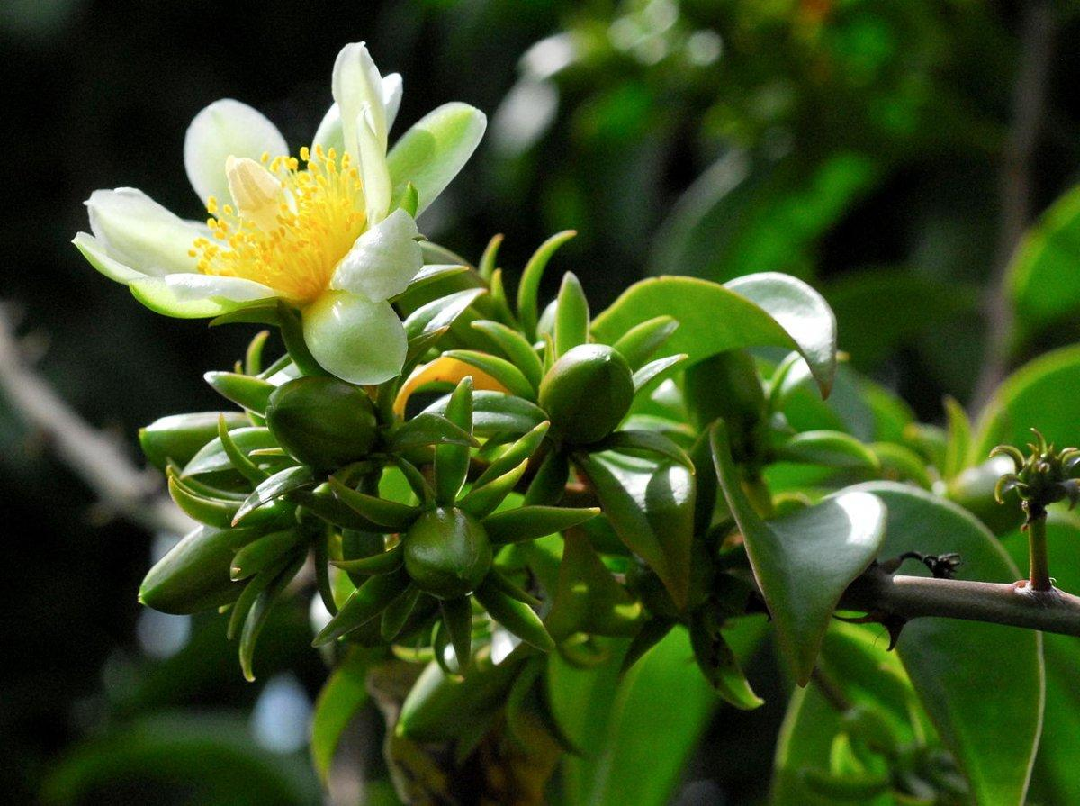 переския кактус лиственный