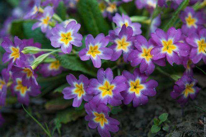 весенние первоцветы в саду