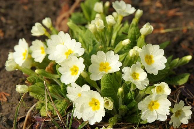 растение первоцвет весенний