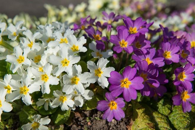 первоцвет весенний применение
