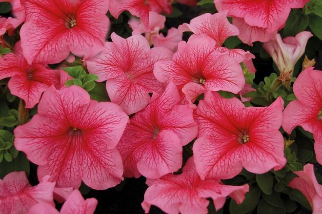 цветы петуний