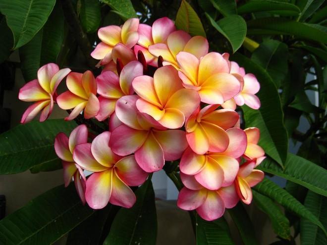 цветки плюмерии