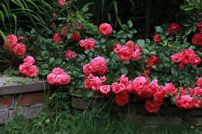 почвопокровные розы описание