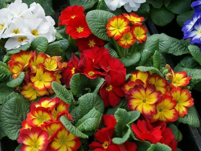 Примула: описание и правила выращивания