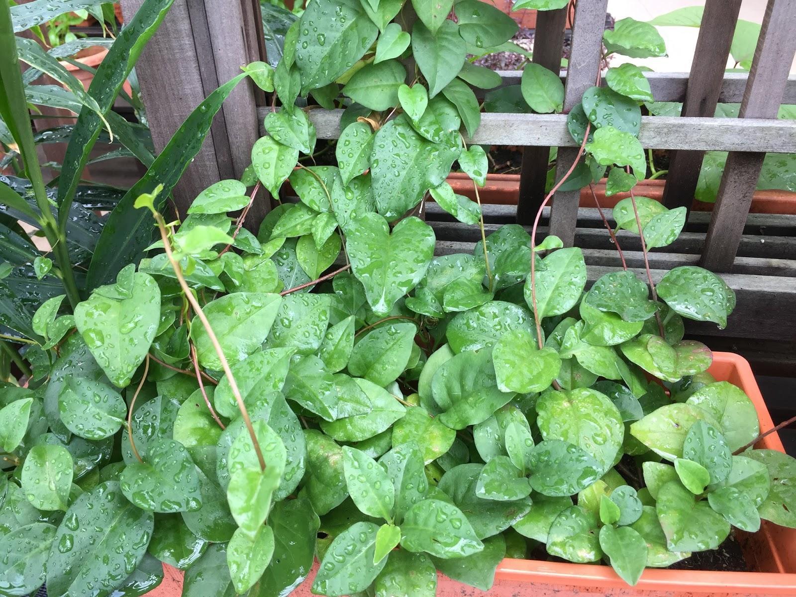 Анредера: описание и выращивание растения