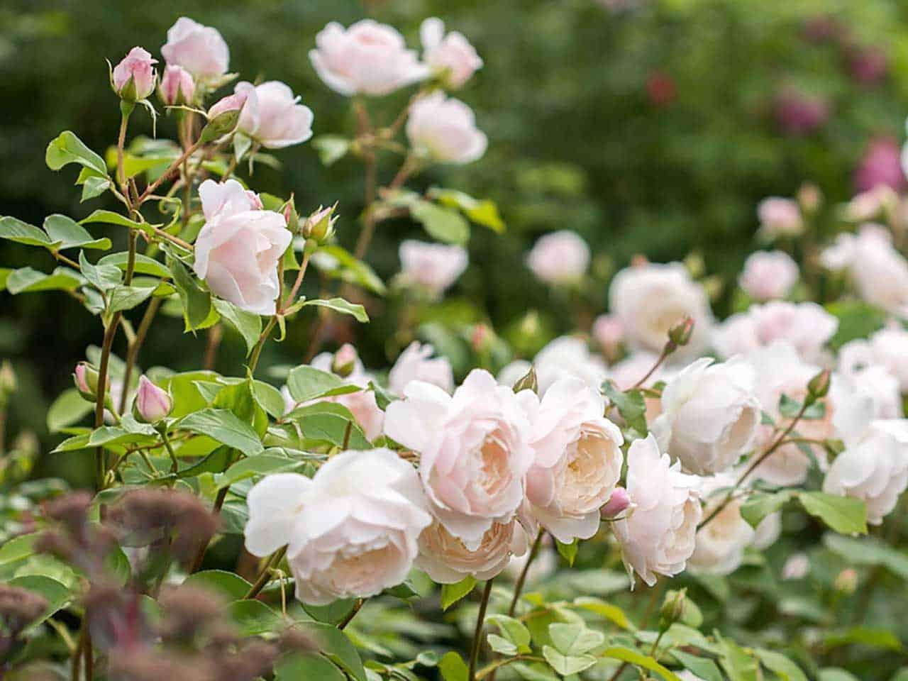 роза остинки Дездемона