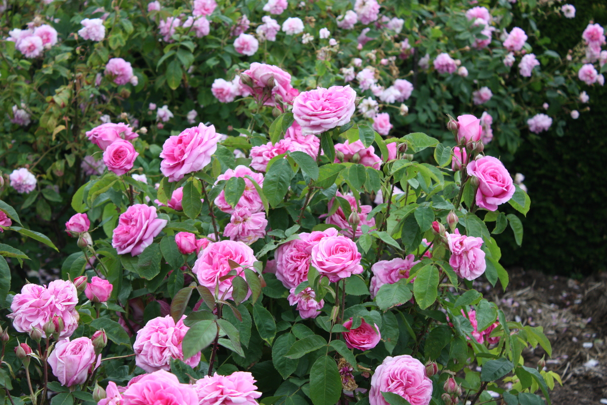 роза остинки Гертруда Джекил