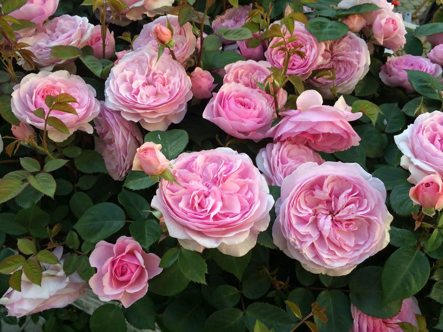 роза остинки Оливия Роуз Остин
