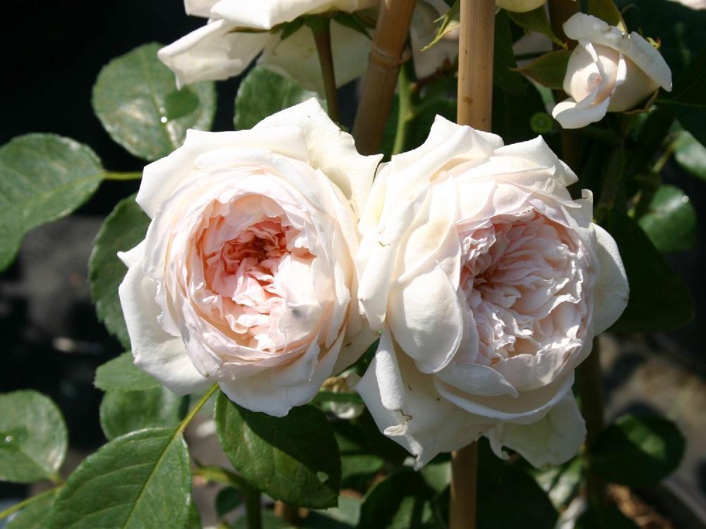 роза остинки Рамблер Олбрайтон