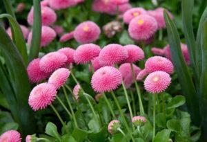 цветы маргаритки многолетние