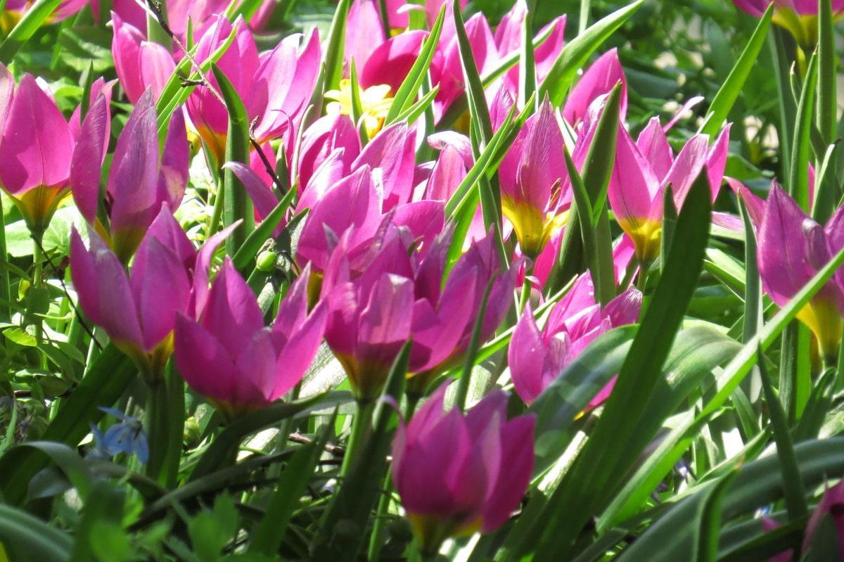 Правила высадки тюльпанов