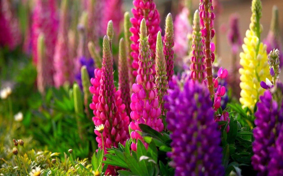 Люпин многолетний: описание, виды, выращивание, посадка и уход