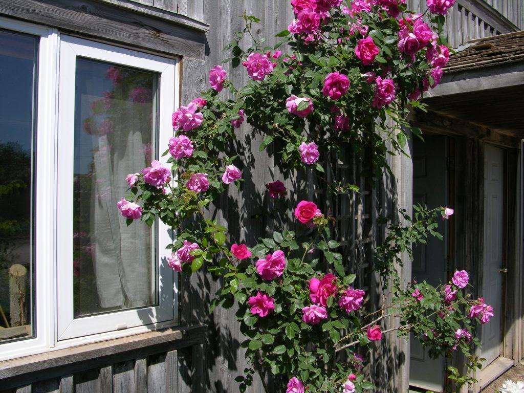 свисающие канадские розы