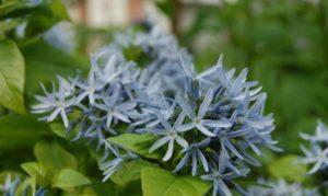 цветы амсонии