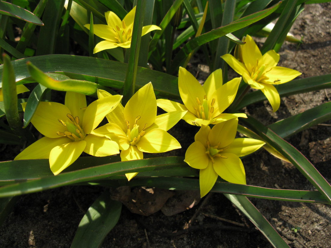 тюльпан Урумийский