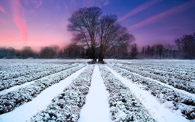 Зимовка лаванды
