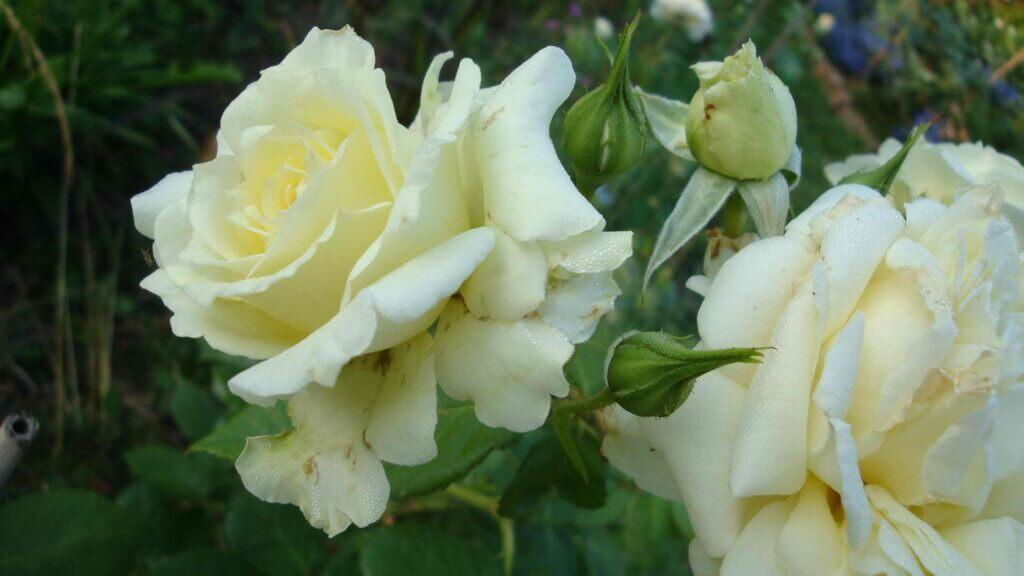 роза Вид Эльф