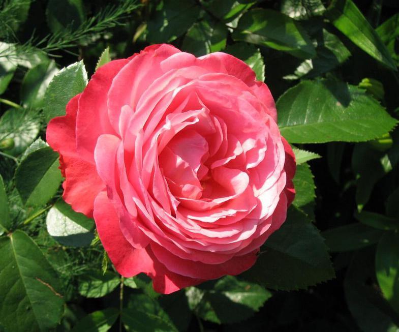 Роза Сорт Розанна