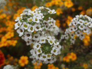 алиссум цветение