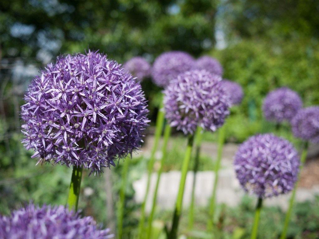 Декоративный лук: описание сорта и выращивание