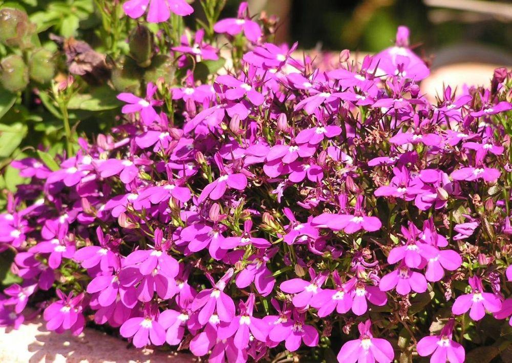 Лобелия: описание и особенности выращивания