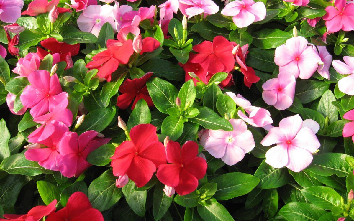 Растение катарантус: описание и выращивание цветка