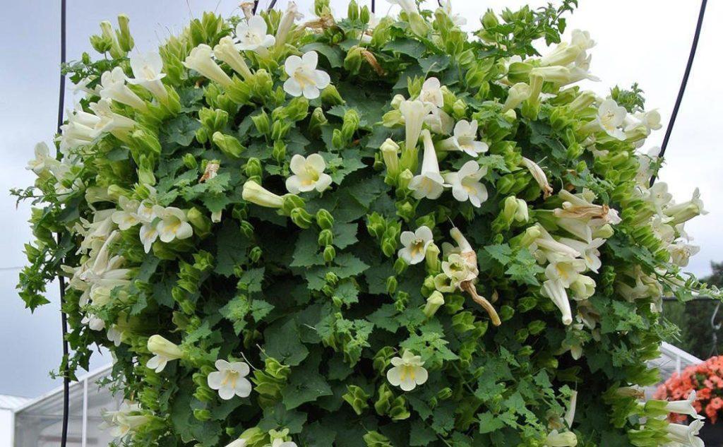 Лофос: описание и правила выращивания