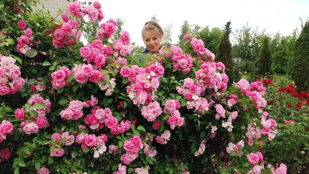 Отличие крупноцветковой розы от мелкоцветковой