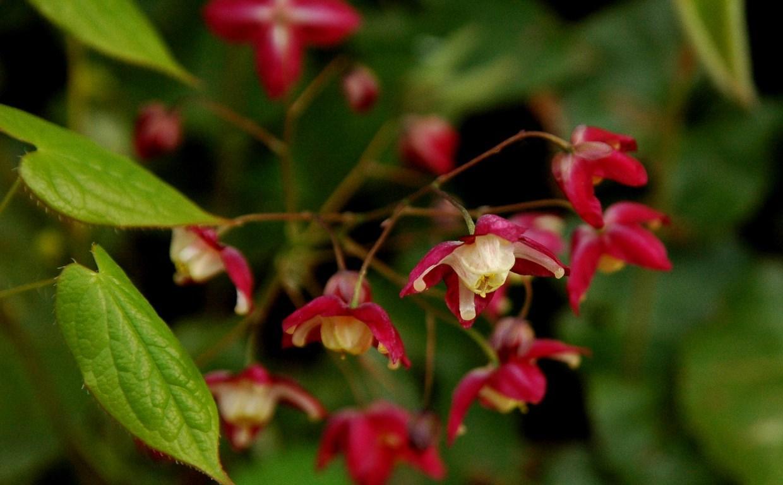 растение горянка