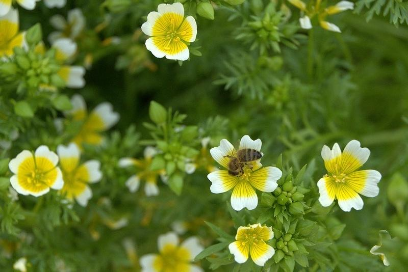 Цветы лимнантес: выращивание и посадка