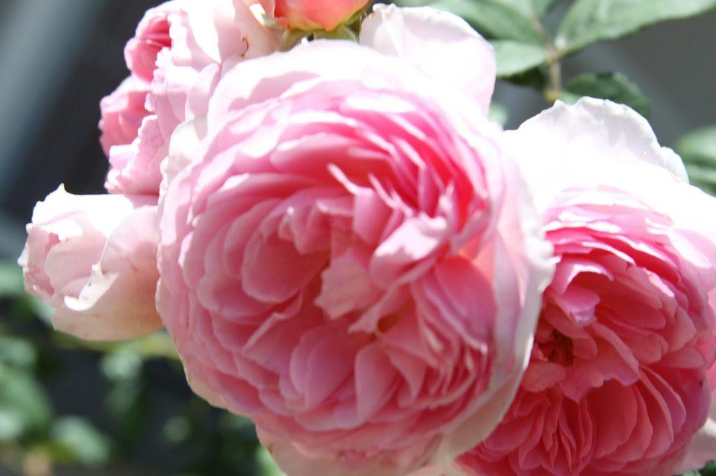 Выбор почвы для роз Остина