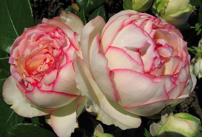 лучшие розы тантау